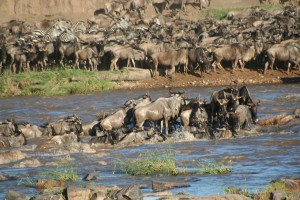 Wildebeest_crossing_river_-_Stefan_Swanepoel
